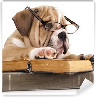 purebred english Bulldog in glasses and book Washable Wall Mural