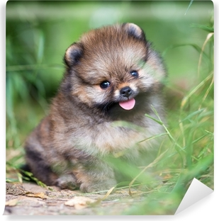 Small Pomeranian puppy in grass Canvas Print • Pixers® • We