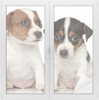 Jack-Russell terrier puppies