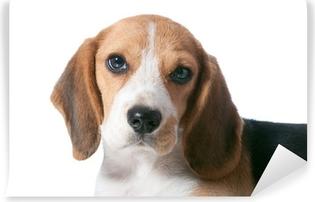 Zelfklevend Fotobehang Beagle puppy