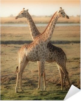 Zelfklevende Poster Twee mooie giraffen in Afrika