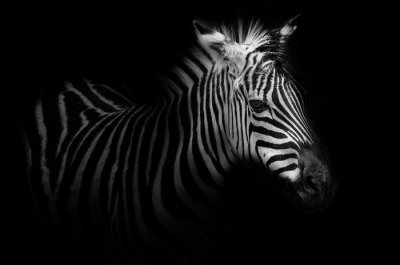 Zebra portrait - black background Acrylic Print