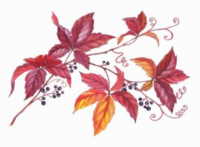 Naklejka na ścianę Ręcznie rysowane akwarela kolorowy i żywe oddział dzikich roślin winorośli. czerwone, żółte, pomarańczowe liście na gałęzi