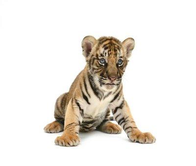 Nálepka na Stěny Dítě bengálský tygr