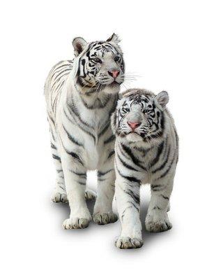 Nálepka na Stěny Dva bílí tygři