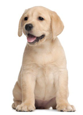Sticker Mural Labrador puppy, 7 semaines, en face de fond blanc
