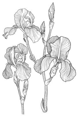 Sketch of bouquet of blooming irises Wall Decal