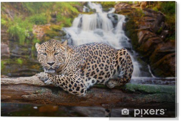 jaguar has a rest against falls acrylic print pixers. Black Bedroom Furniture Sets. Home Design Ideas