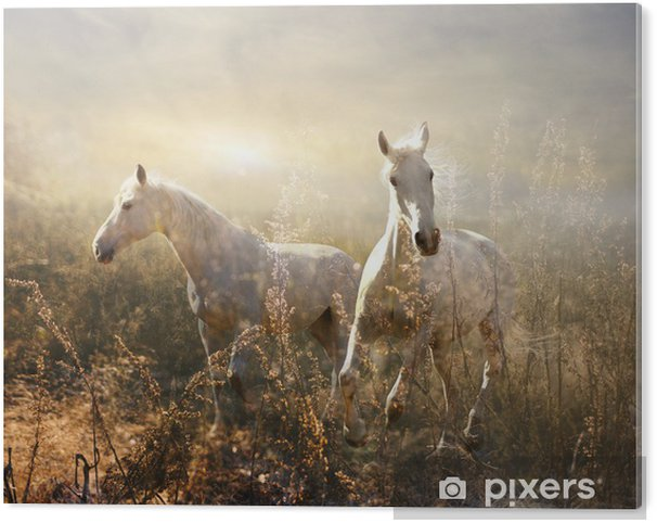white horse galloping on meadow Acrylic Print -