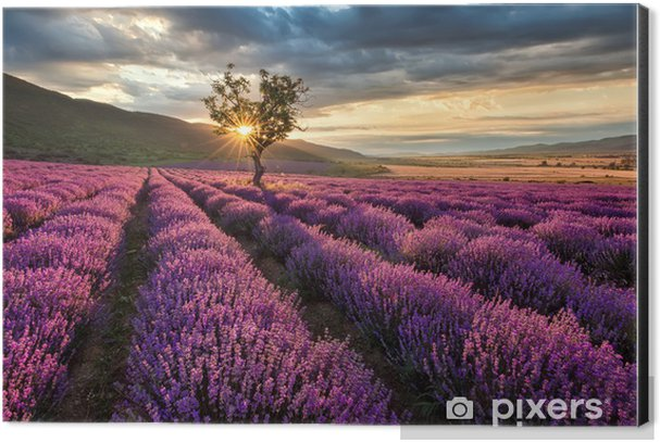 Stunning landscape with lavender field at sunrise Aluminium Print (Dibond) - Themes