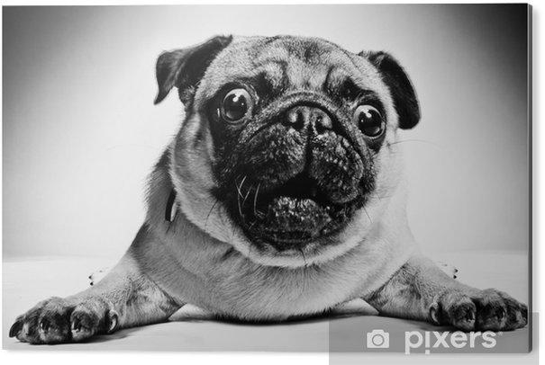 Aluminium Print Zwart-wit portret van een pug - Mopshonden
