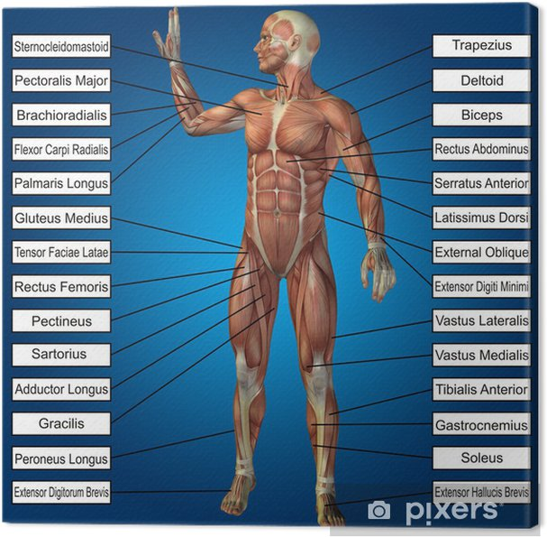 Canvas 3D menselijke mannelijke anatomie met spieren en tekst - Lichaamsdelen