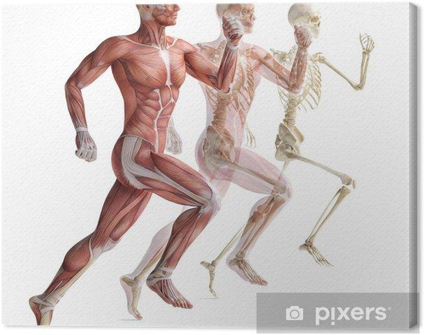 Canvas Anatomie, spieren - Platteland