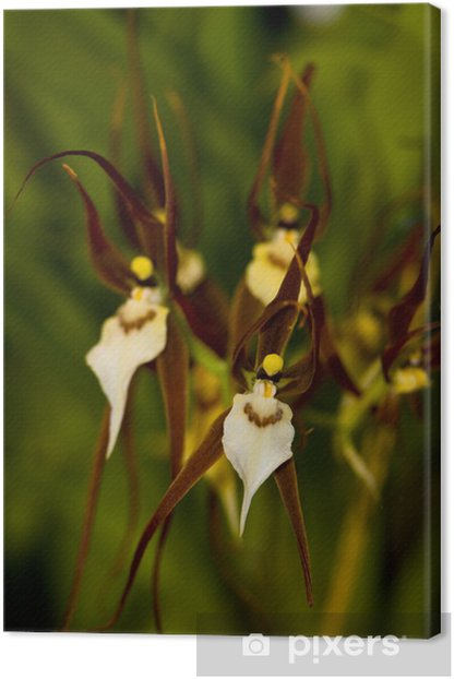 Canvas Bassia orchidee - Planten