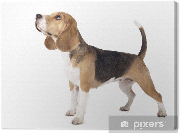 Canvas Beagle - Zoogdieren