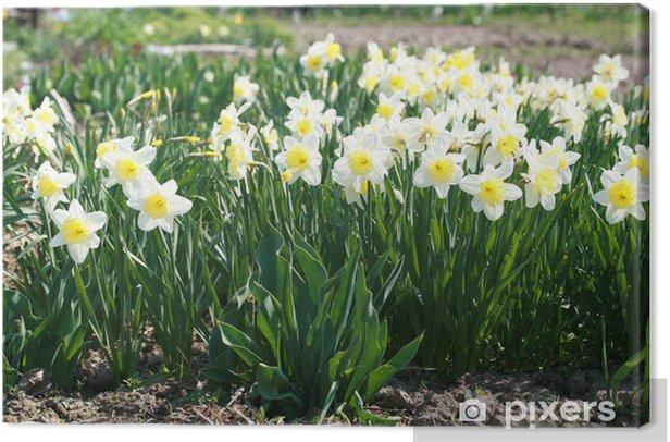 Canvas Bloembed van narcissen - Bloemen