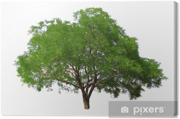 Canvas Boom op een witte achtergrond - Bomen