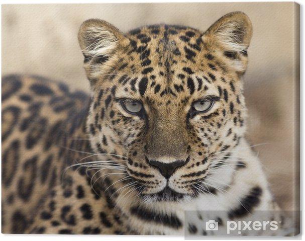 Canvas Close-up portret van een luipaard Amur het maken van oogcontact - Zoogdieren