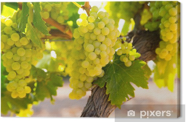 Canvas Druiven chardonnay wijn in de wijngaard ruwe klaar voor de oogst - Landbouw