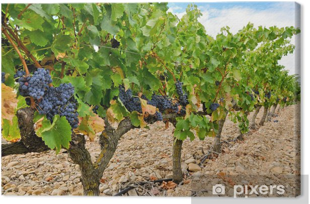 Canvas Druiven in een wijngaard, La Rioja (Spanje) - Thema's