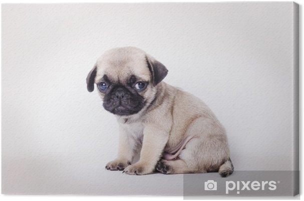 canvas fawn pup mopshond zittend • pixers® - we leven om te veranderen