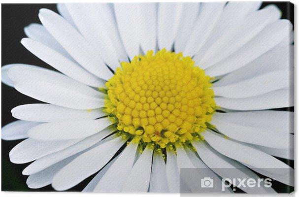 Canvas Fleur Blanche Margriet Paquerette En Gros Plan Pixers We