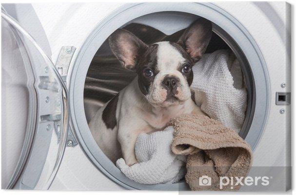 Canvas Franse bulldog puppy in de wasmachine - Franse Bulldogs