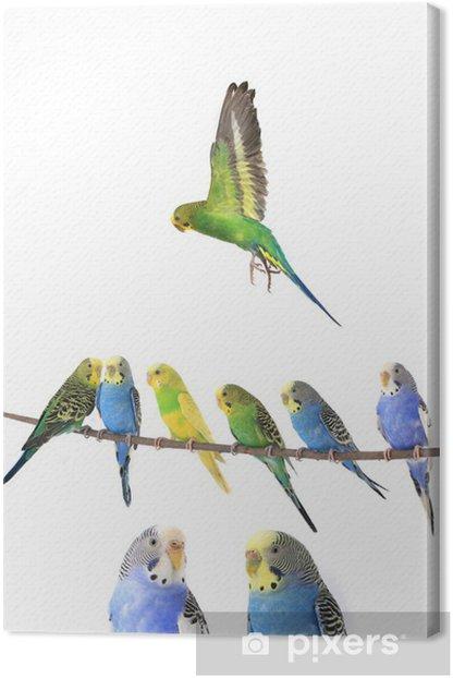 Canvas Grasparkiet - Vogels