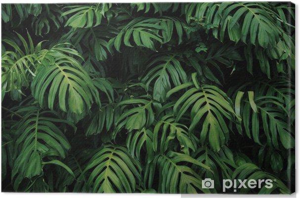 Canvas Groene bladeren van monstera philodendron plant groeit in het wild, de tropische bosplant, groenblijvende wijnstokken abstracte kleur op een donkere achtergrond. - Grafische Bronnen