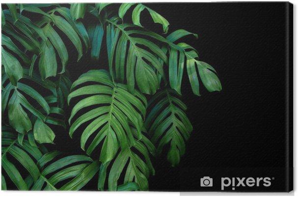 Canvas Groene bladeren van monstera plant groeit in het wild, de tropische bosplant, groenblijvende wijnstok op zwarte achtergrond. - Bloemen en Planten