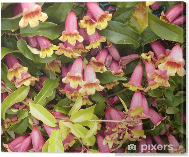Canvas Kamperfoelie - Bloemen