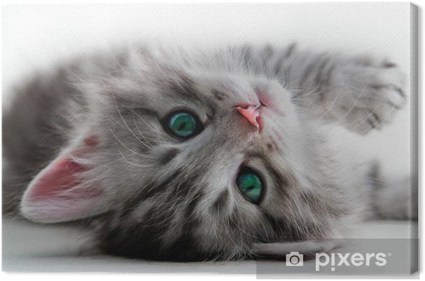 Canvas Kitten rust - geïsoleerd - Thema's