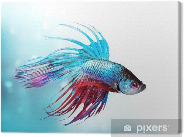 Canvas Kleurrijke Vissen Betta closeup. Draak Fish. Aquarium - Dieren