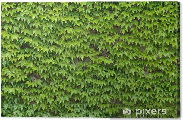 Canvas Klimop muur achtergrond - Texturen