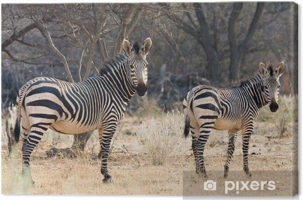 Canvas Koe en Kitten - Hartmann Mountain Zebra - Dieren