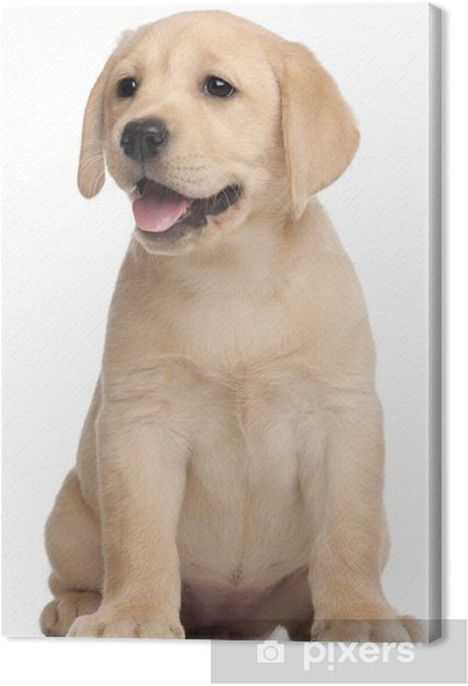 Canvas Labrador puppy, 7 weken oud, voor witte achtergrond - Muursticker