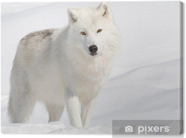 Canvas Noordpool Wolf in de Sneeuw die de Camera -