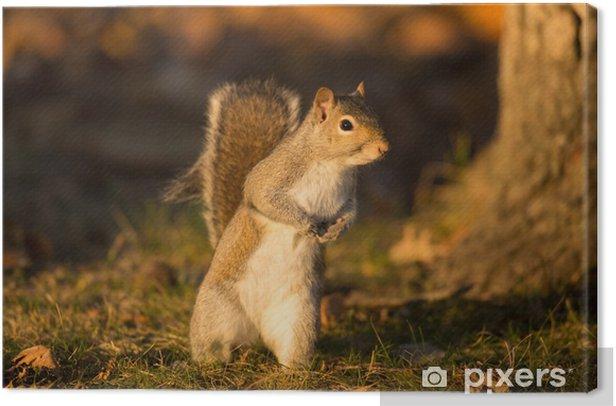 Canvas Oostelijke grijze eekhoorn - Zoogdieren