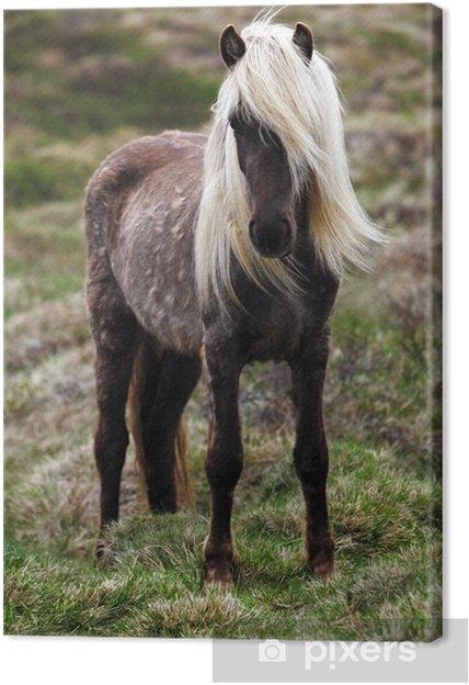 Canvas Paard van IJsland - Paarden