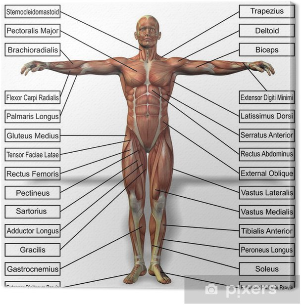 3D human man anatomy with muscles text Canvas Print - Body Parts