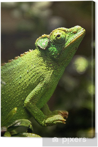 A Female Jackson S Chameleon Perches On A Branch Canvas Print