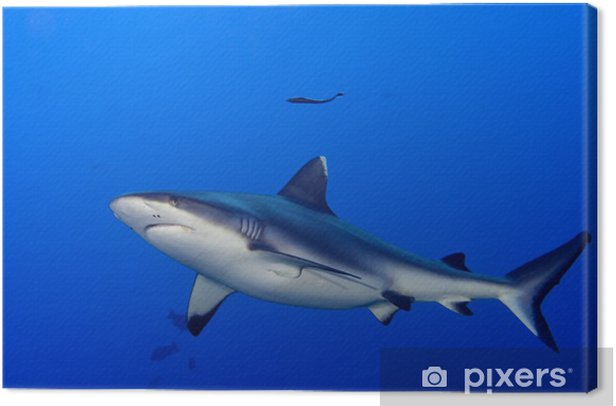 A grey shark jaws ready to attack underwater close up portrait Canvas Print - Sharks