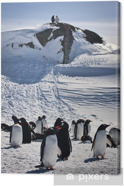 a large group of penguins Canvas Print - Birds