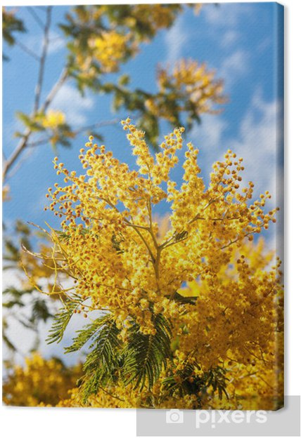 Acacia Dealbata Branches Canvas Print Pixers We Live To Change