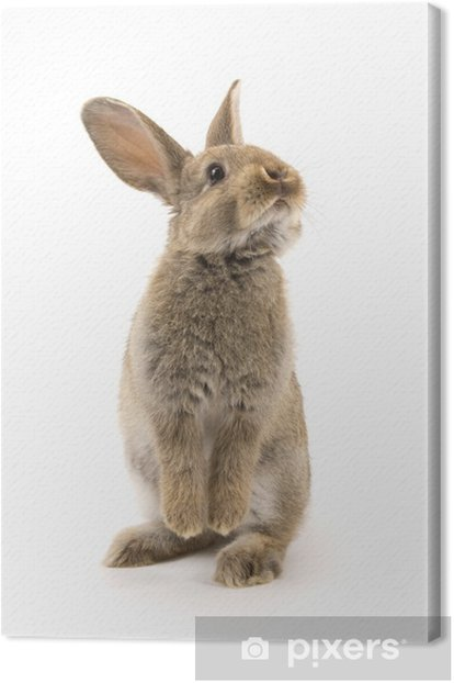 Adorable rabbit isolated on white Canvas Print - Rabbits