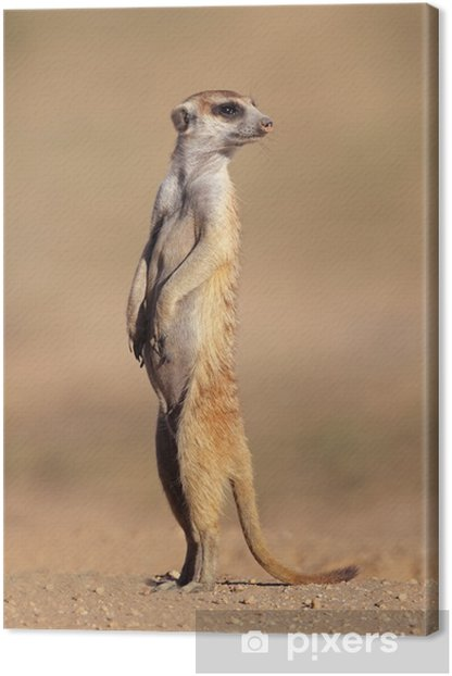 Alert meerkat standing on guard Canvas Print - Mammals