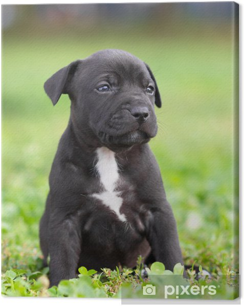 American Staffordshire terrier puppy Canvas Print