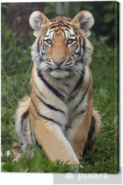 Amur Tiger Cub Canvas Print - Mammals
