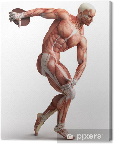 anatomy, muscles Canvas Print - Health and Medicine