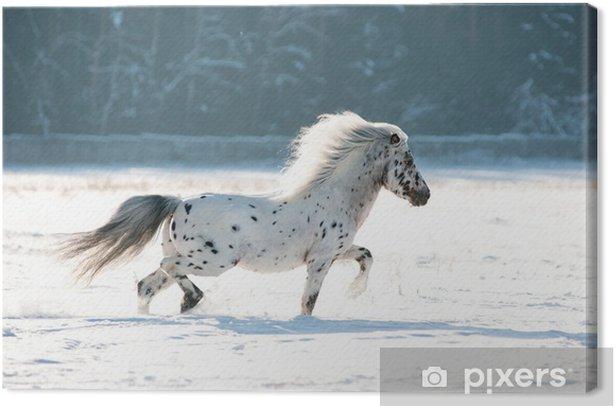 appaloosa pony runs free through the winter field Canvas Print - Mammals